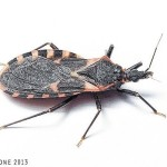 Experts weigh in on 'deadly' kissing bug