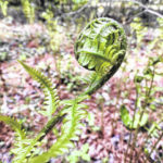Song of the fiddleheads