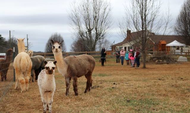 The Folarons acquired a herd of alpaca including some pregnant alpaca whose babies — called cria — were born at Purple Alpaca Farms.                                  Lisa Michals | The Tribune